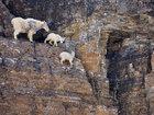 Yamaclardakı dağkeçiləri - FOTO: Fotosessiya