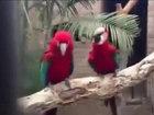 Məzəli tutuquşular - VİDEO: VİDEO