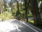 Bakının mərkəzində ağac aşdı - FOTO: HADİSƏ