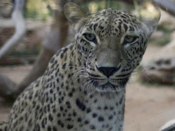 Leopard məktəbdə təşviş yaratdı - VİDEO