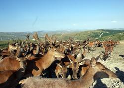 Azərbaycan maralı - FOTO