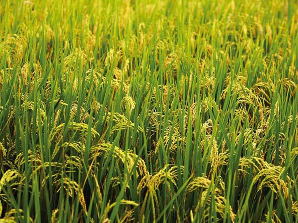 Yer kürəsi əhalisinin beşdə ikisini qidalandıran bitki - FOTO