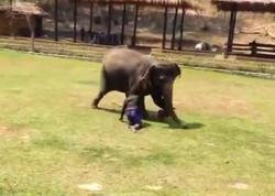 Unikal kadrlar: fil sahibini qorudu - VİDEO