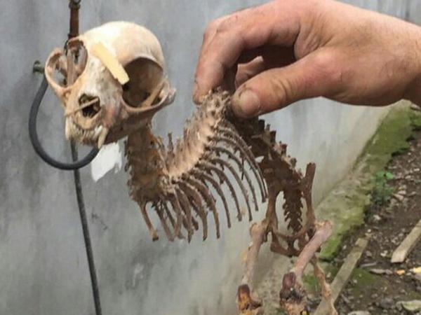 Azərbaycanda qəribə heyvan skeleti tapılıb - FOTO