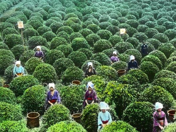 100 il öncə, yapon çay macərası - FOTO