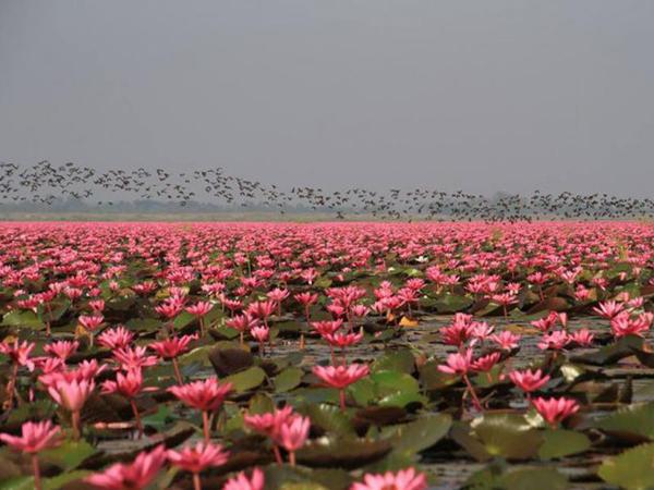 Çəhrayı lotoslar gölü - FOTO