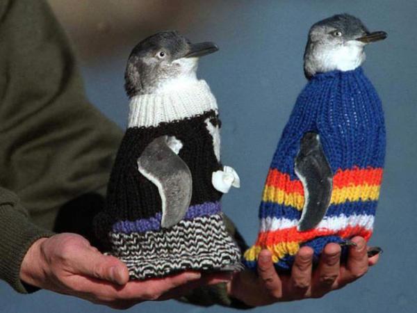 Ən qoca kişi pinqvinləri geiyndirir - FOTO