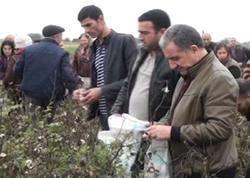 Rayon icra başçısı pambıq yığımında iştirak edib - FOTO