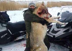 Ovçular itləri parçalayan nəhəng canavarı öldürdülər - FOTO