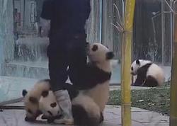 Pandalar onları yemləyən işçi ilə belə oynadılar - VİDEO - FOTO