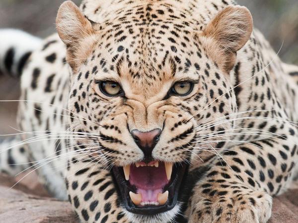 Gepard turistə hücum edib - VİDEO