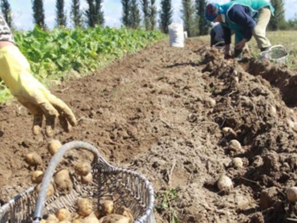 Kartof sahələri məhv olur: MÜTƏXƏSSİS ƏRAZİYƏ BAXIŞ KEÇİRƏCƏK - VİDEO