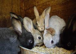Bakıda 500 manata dovşan satılır - VİDEO