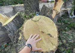 """Bakıda ağacların qanunsuz kəsilməsi ilə bağlı <span class=""""color_red"""">RƏSMİ AÇIQLAMA</span>"""