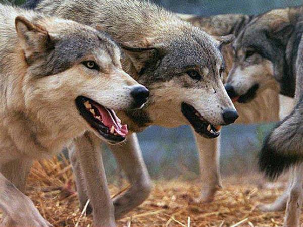 Kəndlilərin canına və malına qənim kəsilən canavarlar - VİDEO - FOTO
