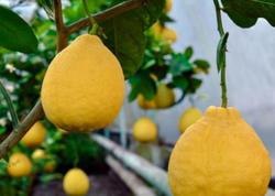 Kəskin istilər limonun məhsuldarlığına təsir edib - VİDEO
