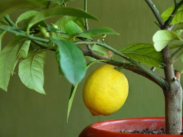 """Limon dənələrini atmayın, əkin - <span class=""""color_red"""">FOTO İZAH</span>"""