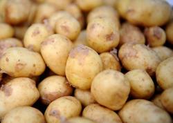 Kartof yığımı başlanıb - Qiymət Bakı bazarlarından 2-3 dəfə ucuzdur - VİDEO