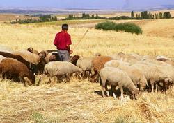 "Çobanlar qoyun oğruları çıxdı - <span class=""color_red"">Polis yaxaladı</span>"