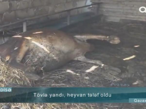 Qazaxda tövlə mal-qarayla birlikdə yandı - VİDEO - FOTO