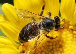 Azərbaycanda süni mayalanma yolu ilə cins ana arı yetişdirilib