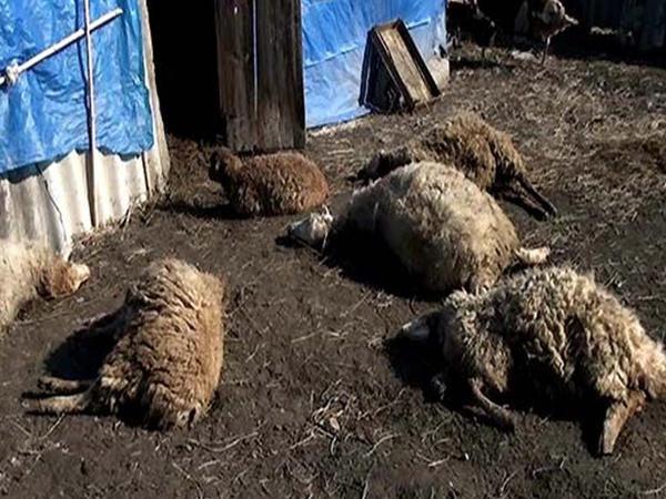 Gədəbəydə həmkəndliləri fermerin heyvanlarını öldürdülər