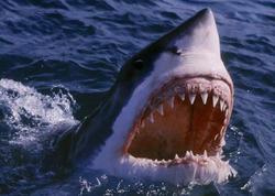 ABŞ-da köpək balığı bir nəfəri parçaladı