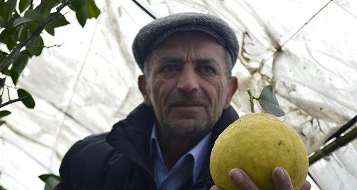 Astarada yetişən nəhəng limon: çəkisi də, qiyməti də fərqlidir - FOTO