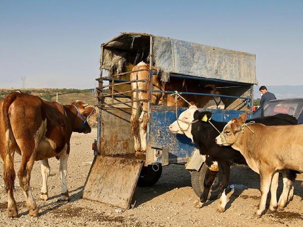 Maştağa bazarında oğurluq inəklər satılır