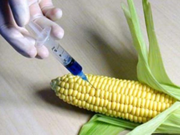 GMO təhlükəsi - Risk qiymətləndirilməsi aparılmalıdır
