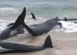 Avstraliyada 150 delfin özünü sahilə atıb - VİDEO