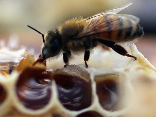 Litvalılar arılara aludədir?