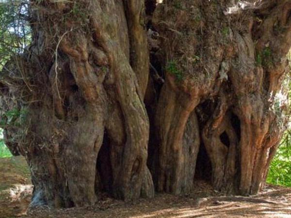 Türkiyədə 4 min il yaşı olan ağac tapıldı