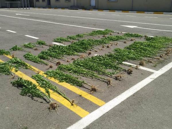 Neftçalada narkotik bitkiləri yola sərdilər - FOTO