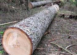 Baş Prokurorluq ağaclara qənim kəsilənlər barəsində qanunamüvafiq tədbir görəcək
