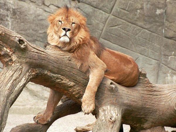 Çexiyada şir və pələnglər zooparkdan qaçdı
