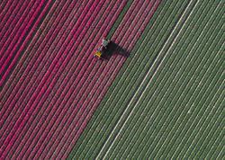 Hollandiyanın lalə tarlaları - FOTO
