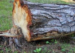 Bakıda qanunsuz ağac kəsən yol idarəsi barədə protokol tərtib edildi