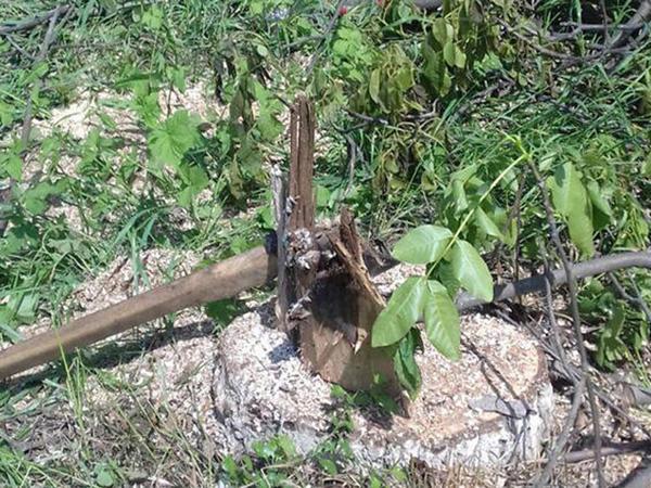 Xaçmazda 11 ədəd qovaq ağacı qanunsuz kəsilib