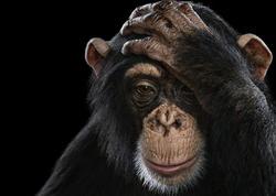 Şimpanzelər və oranqutanlar keçmişi xatırlaya bilirlər