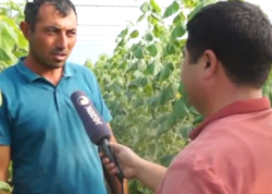 Cocuq Mərcanlıda 25 ildən sonra məhsul istehsalına başlanılıb - VİDEO