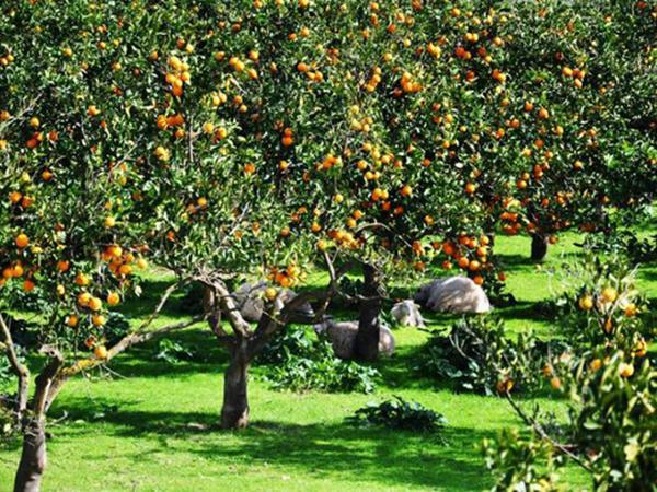 Azərbaycanın ən iri sitrus bağlarında... - FOTO