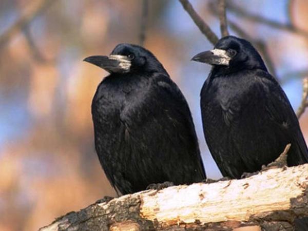 Zoologiya İnstitutu: Bakının mərkəzində gördüyümüz quşlar əslində qarğa deyil, onlar...