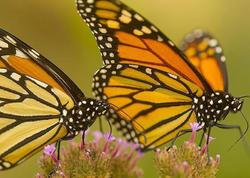 Monarx kəpənəklərinin 90 faizinin nəsli kəsilib