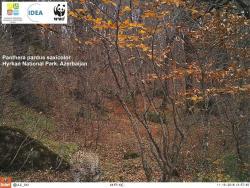Hirkan Milli Parkının ərazisində daha bir bəbir qeydə alınıb - FOTO