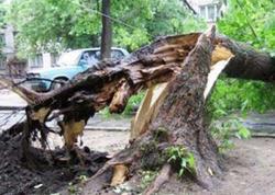 Bakıda güclü külək 100-ə yaxın ağaca ziyan vurub