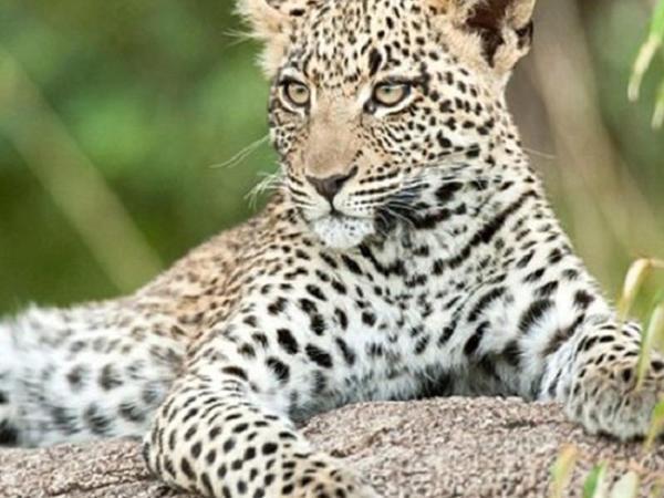 Evə girən leopard 3 yaşlı körpəni parçaladı - VİDEO