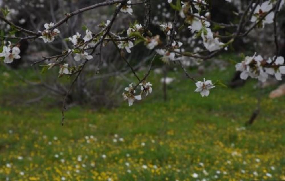 Türkiyədə təşkil olunan badam çiçəyi festivalı böyük maraqla qarşılanıb