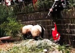 """5 yaşlı qız pandanın qəfəsinə düşdü - <span class=""""color_red"""">VİDEO - FOTO</span>"""
