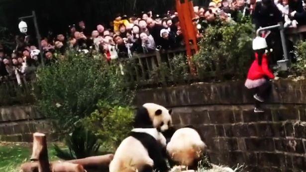 5 yaşlı qız pandanın qəfəsinə düşdü - VİDEO - FOTO